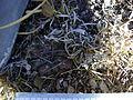 Thelocactus hexaedrophorus (5762010486).jpg