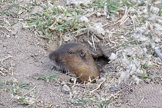 Southern pocket gopher species of rodent in the family Geomyidae, found in Mexico and the United States