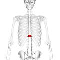 Thoracic vertebra 11 anterior.png