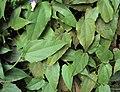 Thunbergia grandiflora 09.JPG