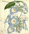 Thunbergia laurifolia (T. harrisii) Bot. Mag. 83. 4998. 1857.jpg
