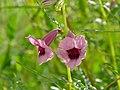 Thunderbolt Flower (Sesamum triphyllum) (7000526269).jpg