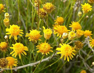 <i>Thymophylla</i> genus of plants