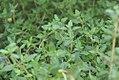 Thymus vulgaris 4zz.jpg