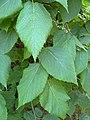 Tilia mexicana foliage.jpg