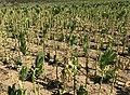 Tobacco field, Malatya 10.jpg