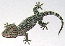 Tokay gecko @Vnm.jpg