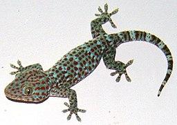 Tokay gecko @Vnm