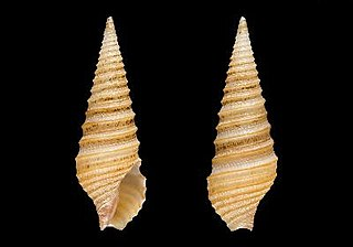 <i>Tomopleura fuscocincta</i> Species of gastropod