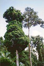Toonumbar National Park - Syzygium francisii & Argyrodendron trifoliolatum.jpg