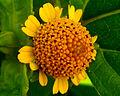 Toothache Plant flower.jpg