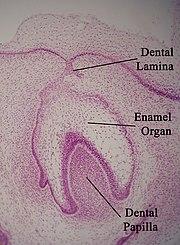 Corte histol�gico mostrando o desenvolvimento de um dente. (topo da imagem corresponde � cavidade bucal)