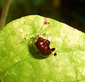 Tortoise Beetle. Cassidinae. Cassidini - Flickr - gailhampshire (5).jpg