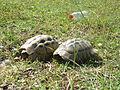 Tortoises in Krushevska Reka valley - P1100156.JPG