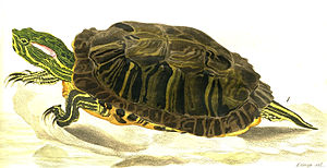 Red-eared slider - Trachemys scripta elegans (Wied-Neuwied), an 1865 engraving by Karl Bodmer, who accompanied the authority on his expedition