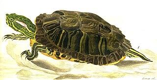 Red-eared slider Species of turtle