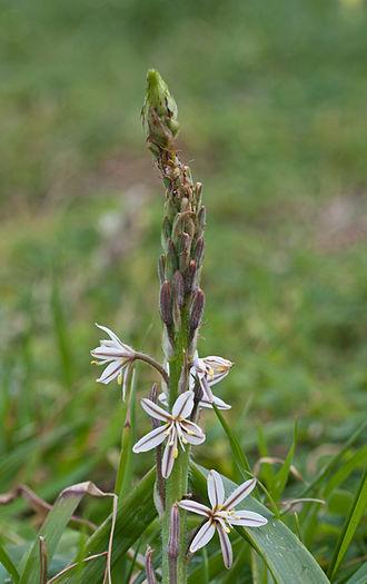 Trachyandra - Trachyandra ciliata