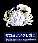 Trachycarcinus sagamiensis - National Museum of Nature and Science, Tokyo - DSC06761.JPG