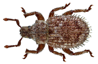 <i>Trachyphloeus scabriculus</i> species of insect