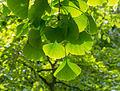 Transparence des feuilles de Ginkgo Biloba.jpg
