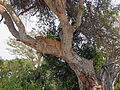 Tree lion uganda.JPG