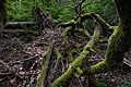 Tree roots at Neroberg.jpg