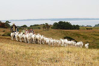 Trehøje Mols - Goats, sheep, cattle and horses diminish tree growth at Trehøje.