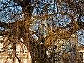 Treurwilg in de zon (5400072709).jpg