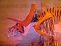 Triceratops belgium.jpg