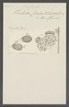 Trichoda cicada - - Print - Iconographia Zoologica - Special Collections University of Amsterdam - UBAINV0274 113 18 0027.tif