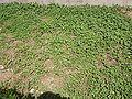 TrifoliumRepens.jpg