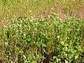 Trifolium hybridum (5155177340).jpg
