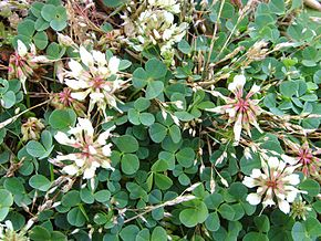 Description de l'image Trifolium occidentale.jpg.