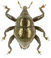 Trigonopterus aeneus holotype - ZooKeys-280-001-g002.jpg