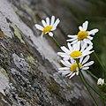 Tripleurospermum maritimum (4910413707).jpg