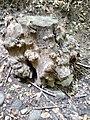 Tronco albero trovato sul percorso del Parco del Monte Barro.jpg
