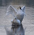 Trumpeter Swan pair, White Bear Lake MN.jpg