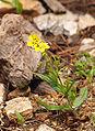 Tuberaria guttata LC0051.jpg
