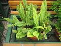 Tuberous sword fern.jpg
