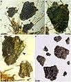 Tyruschrysa melqart holotype Fig5.jpg