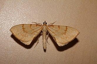 Barred straw - Image: Unbekannter Schmetterling