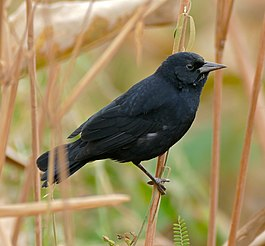 Unicolored Blackbird (Agelasticus cyanopus) male.jpg