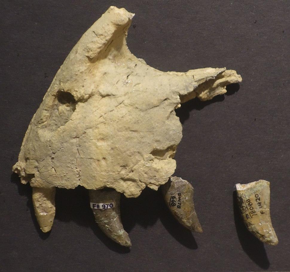 Utahraptor premaxilla BYU