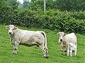 Vaches Bellegarde-en-Marche.jpg