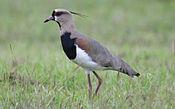 Vanellus-chilensis-001