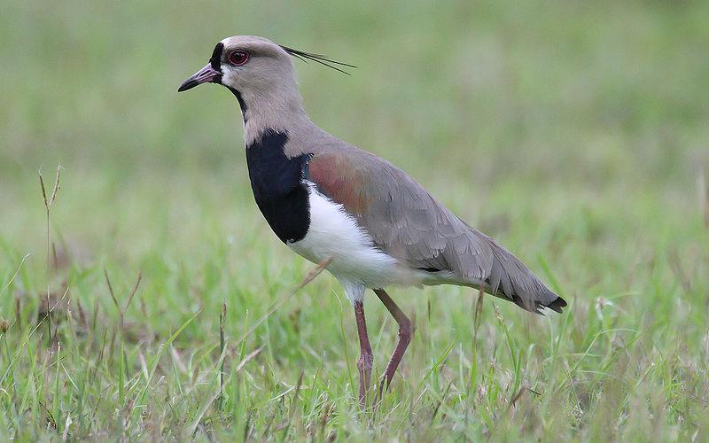 File:Vanellus-chilensis-001.jpg