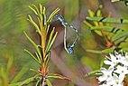 Variable damselfly (Coenagrion pulchellum) mating Estonia.jpg
