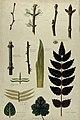 Various leaf forms, leaf venation, bud arrangements and wood Wellcome V0043498.jpg