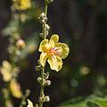 Verbascum nigrum-Molène noire-Fleur-20150609..jpg