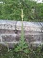 Verbascum phlomoides sl 1.jpg